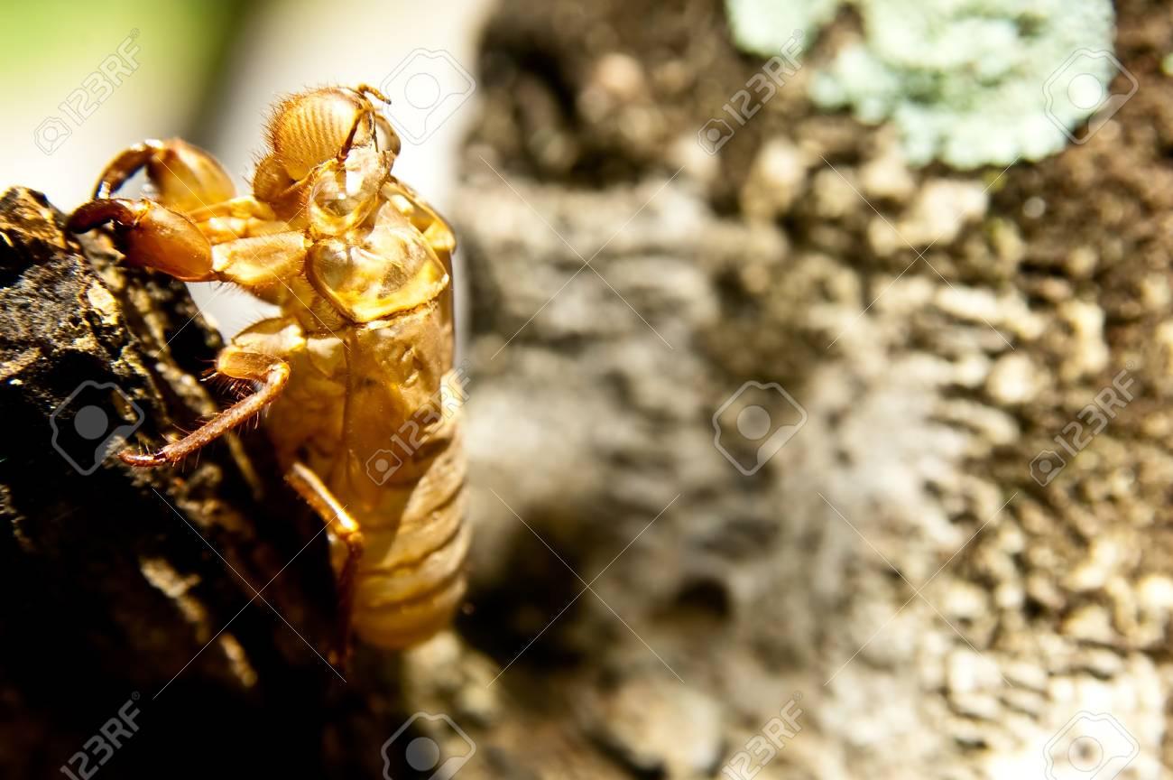 cicada molt Stock Photo - 11145207