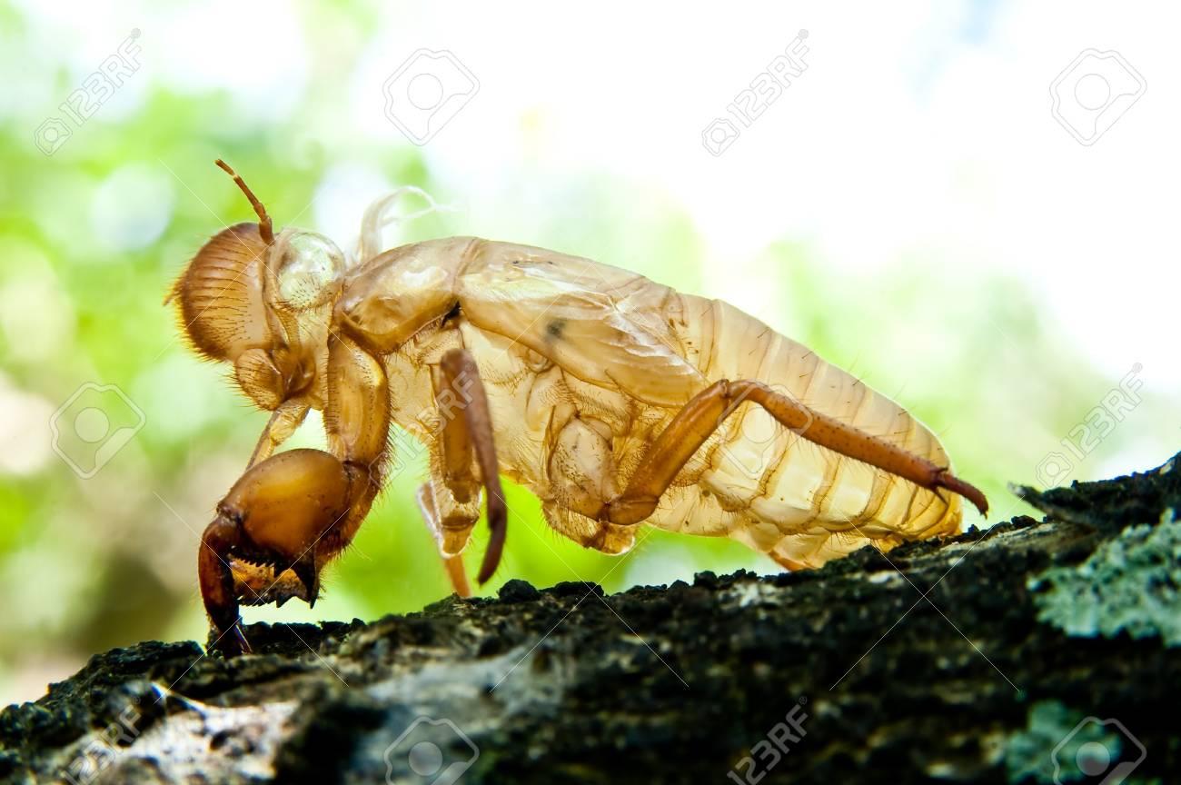 cicada molt Stock Photo - 11145145