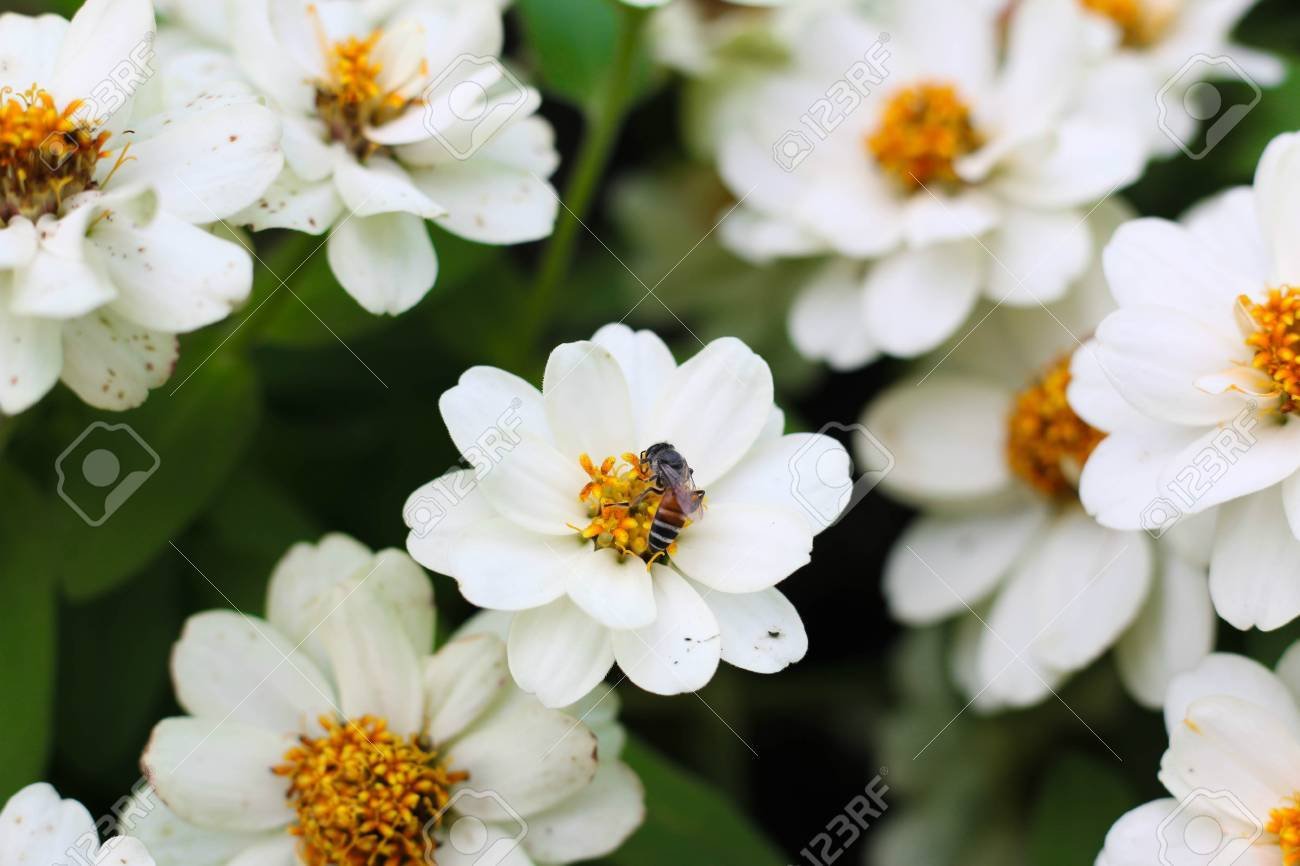 White Plains Blackfoot Daisy With Bee Pollinating Flowers Stock