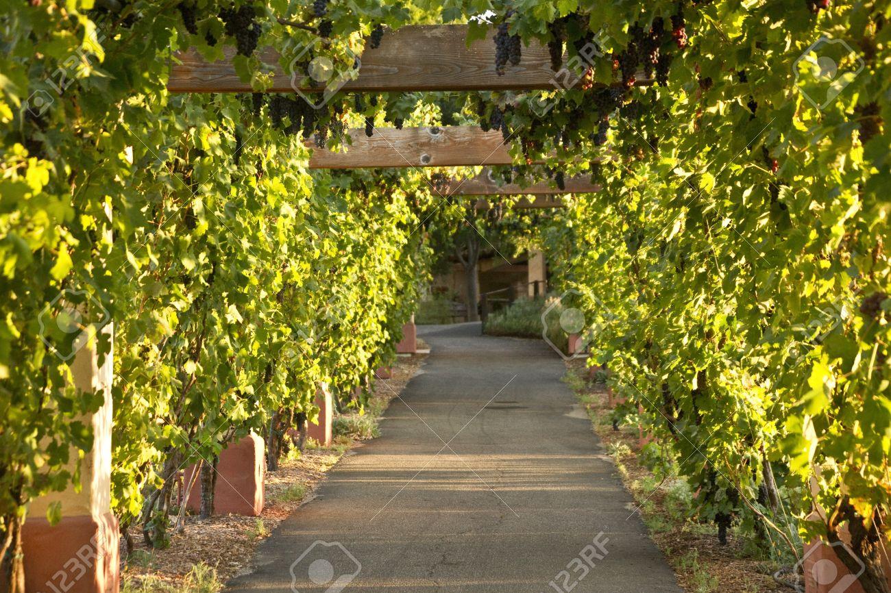 Виноградник на даче фото