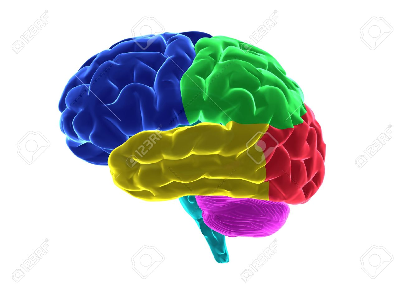 Human brain parts Stock Photo - 6150579