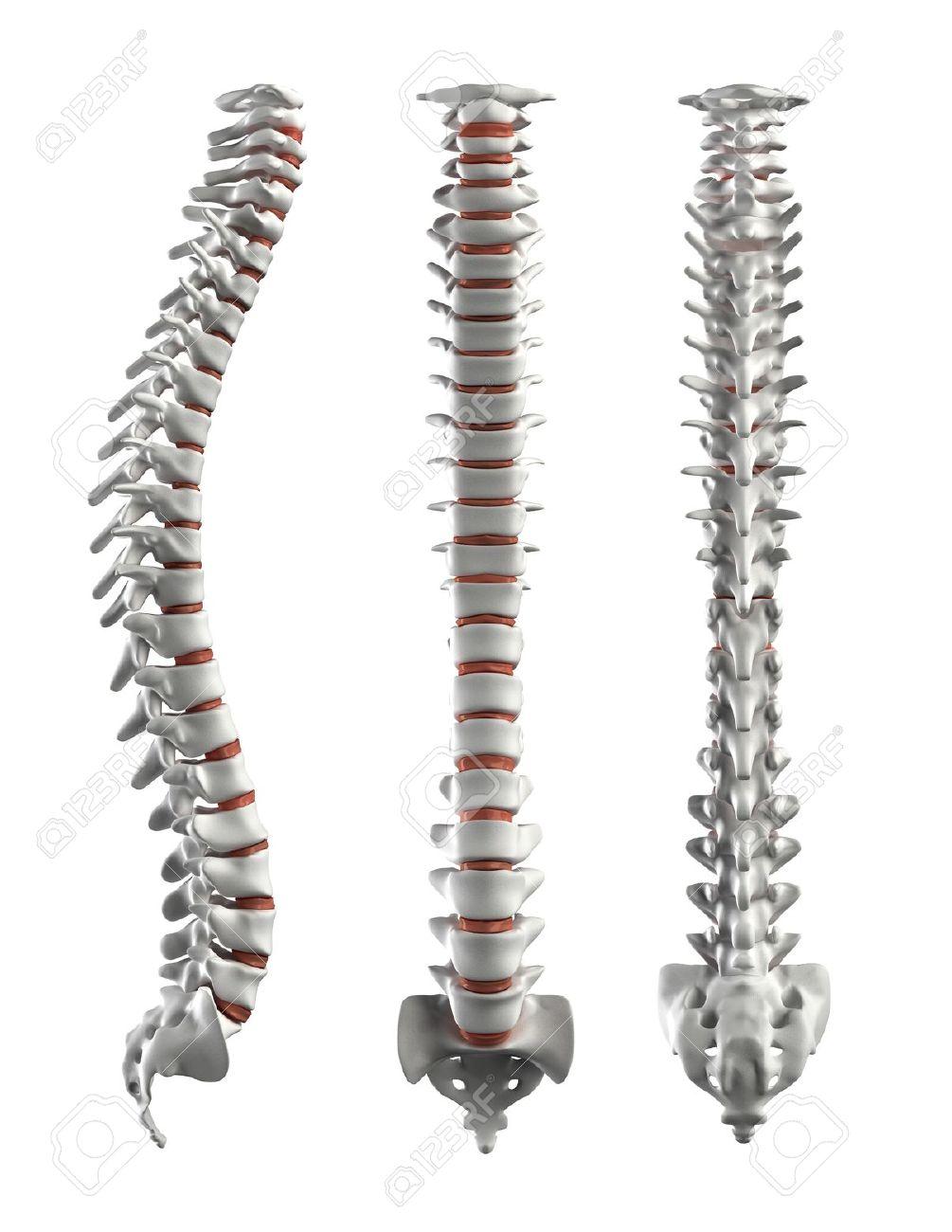 Detailed spine with Intervertebral discs Stock Photo - 9162851