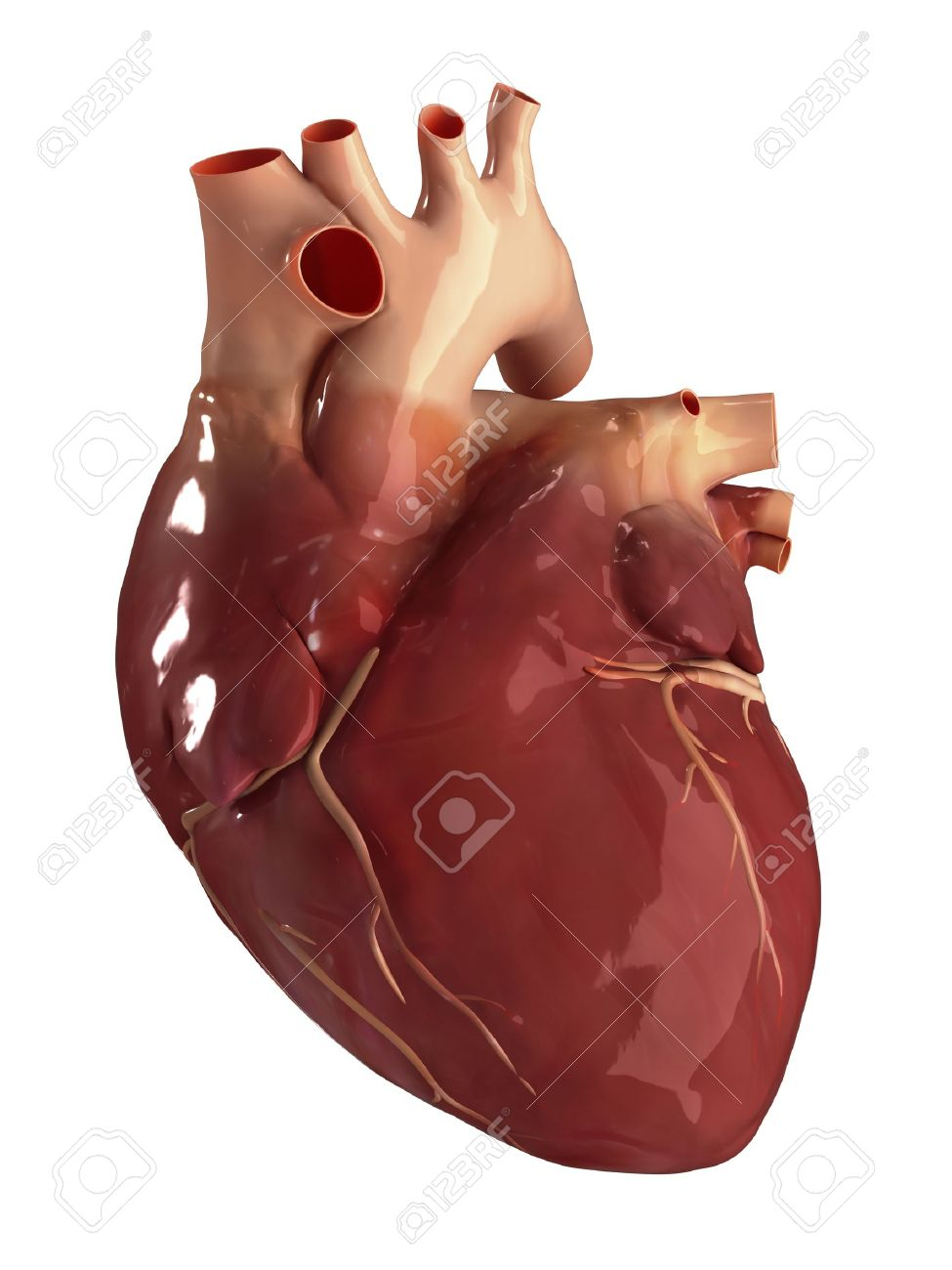 Human Heart Anatomy Stock Photo, Picture And Royalty Free Image ...