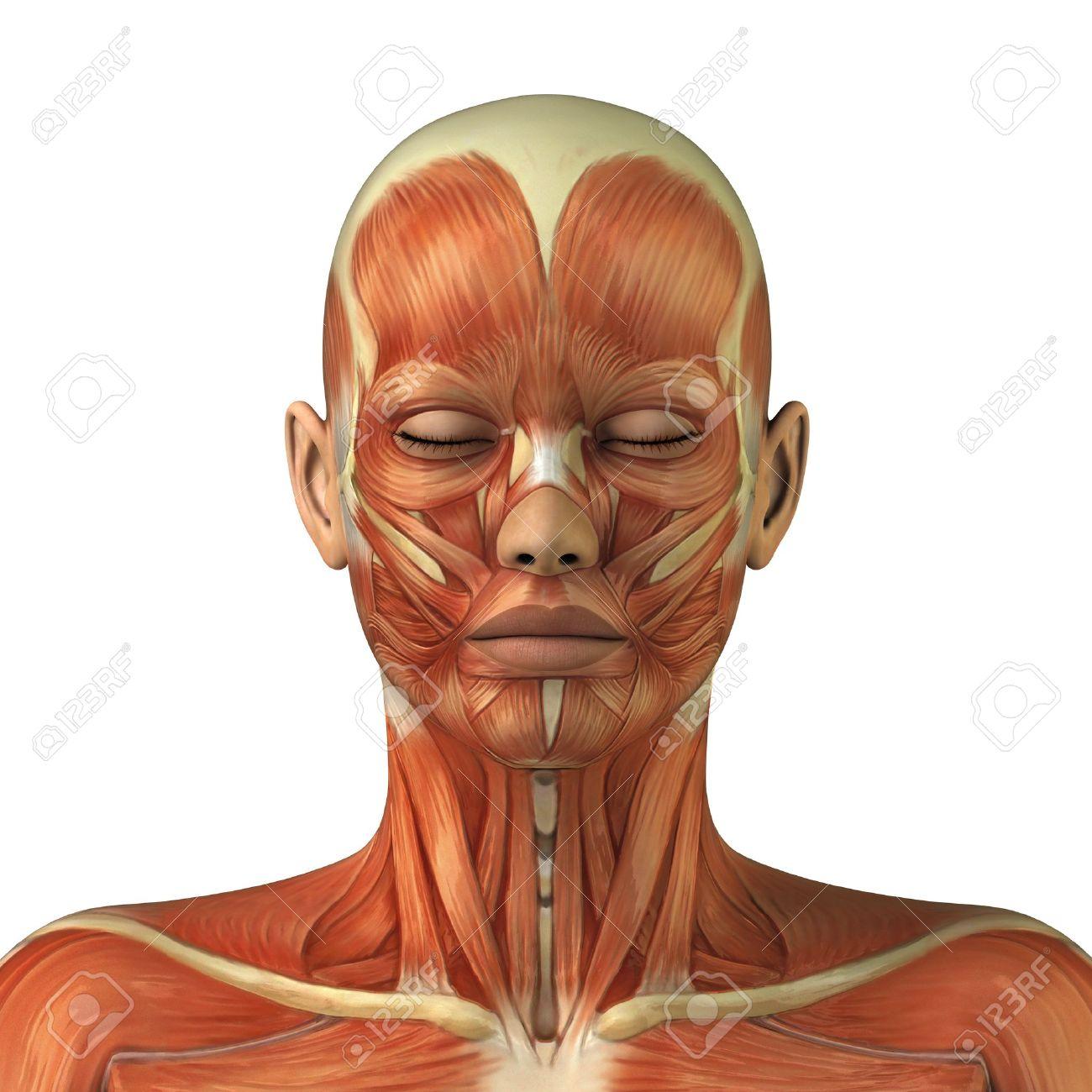 Body without skin anterior view Stock Photo - 9609301