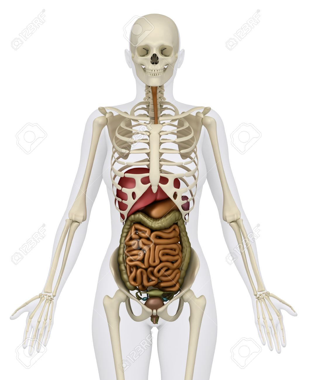 Anatomy of abdomen stock photo picture and royalty free image anatomy of abdomen stock photo 9651178 ccuart Image collections