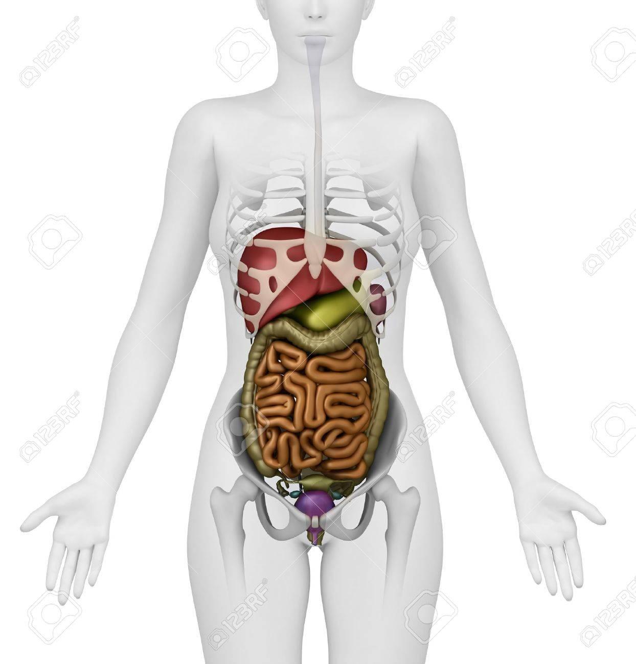 Anatomía Del Abdomen Fotos, Retratos, Imágenes Y Fotografía De ...