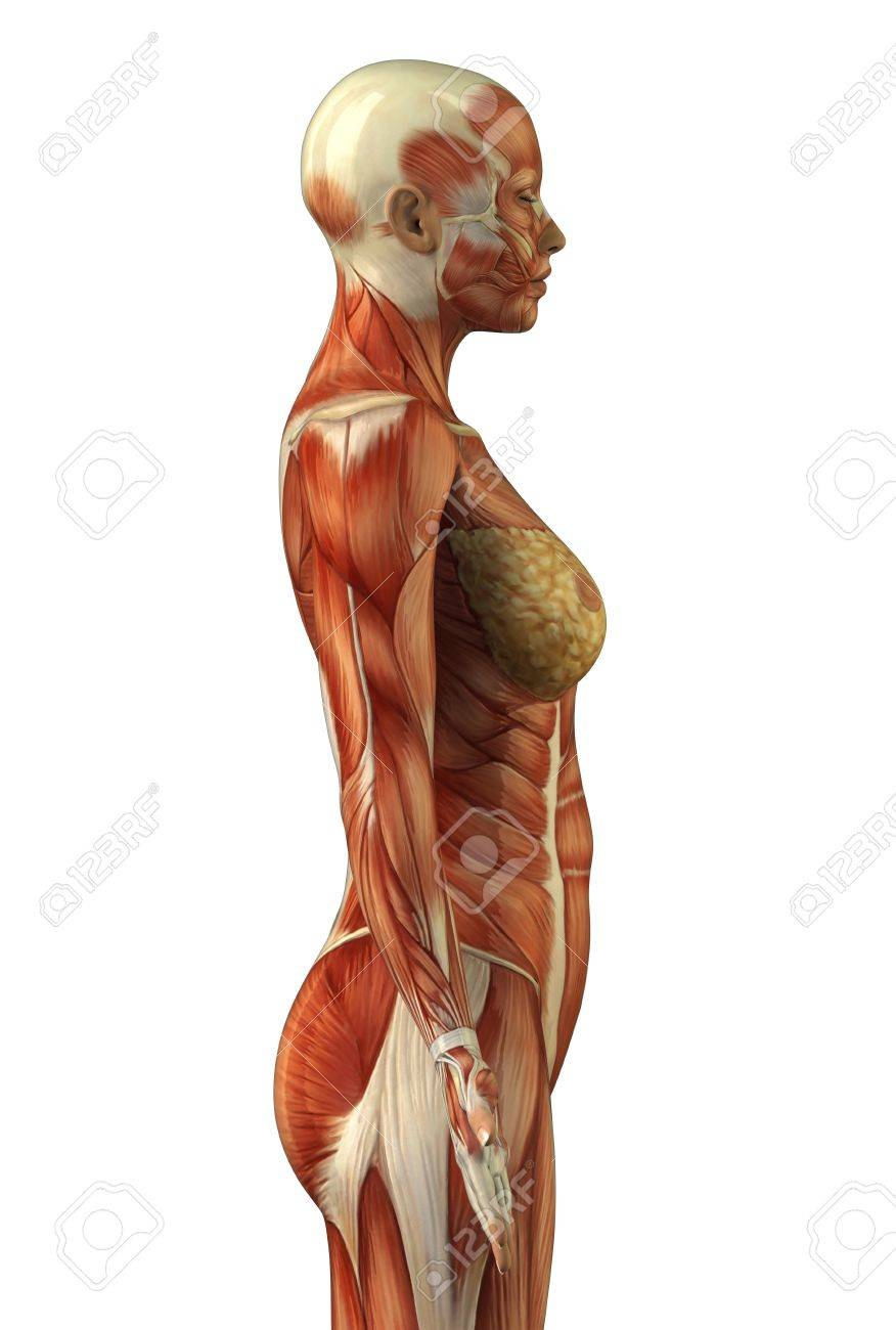 Diagram Of Human Body Without Skin Explore Schematic Wiring Diagram