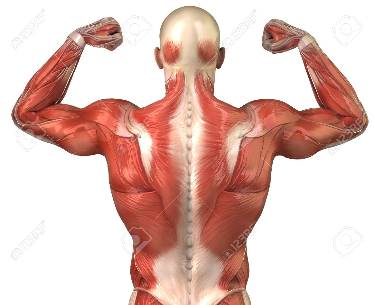 Images Of Human Muscles Defenderautofo