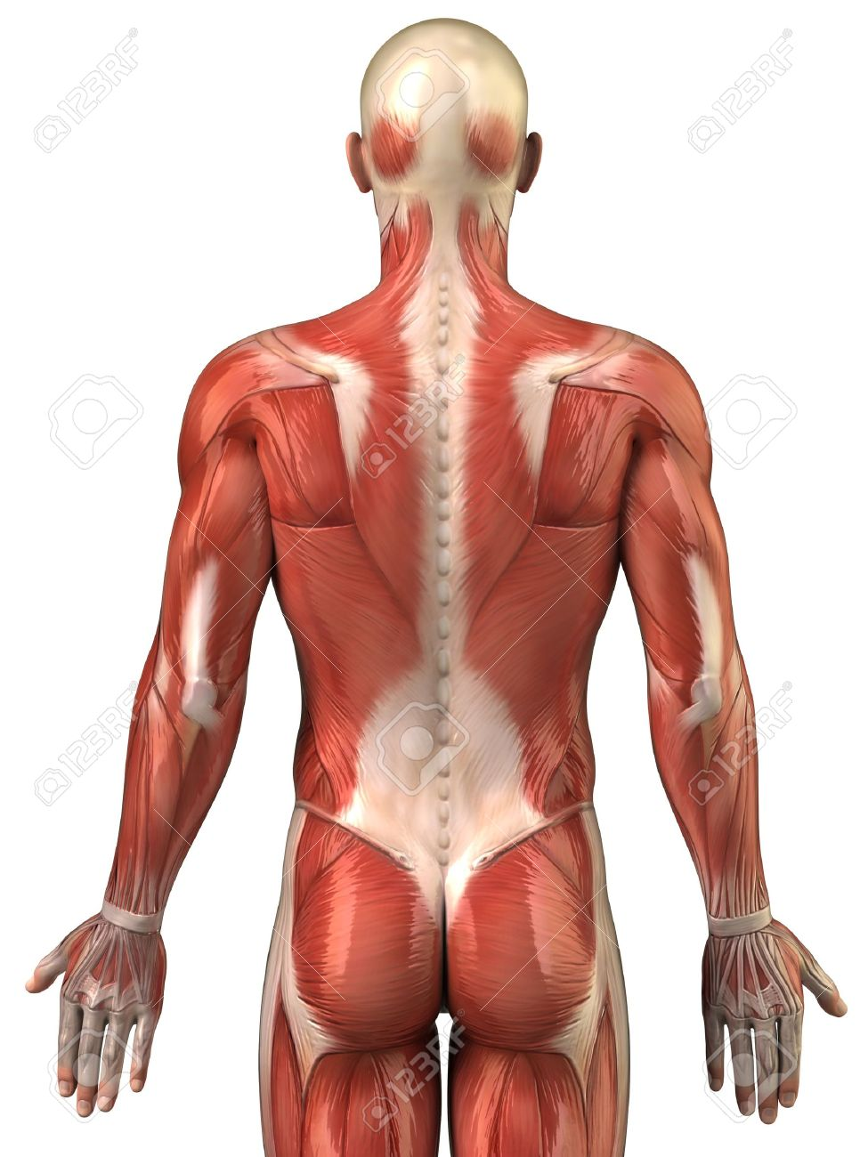 Anatomy of human muscles Stock Photo - 10010555