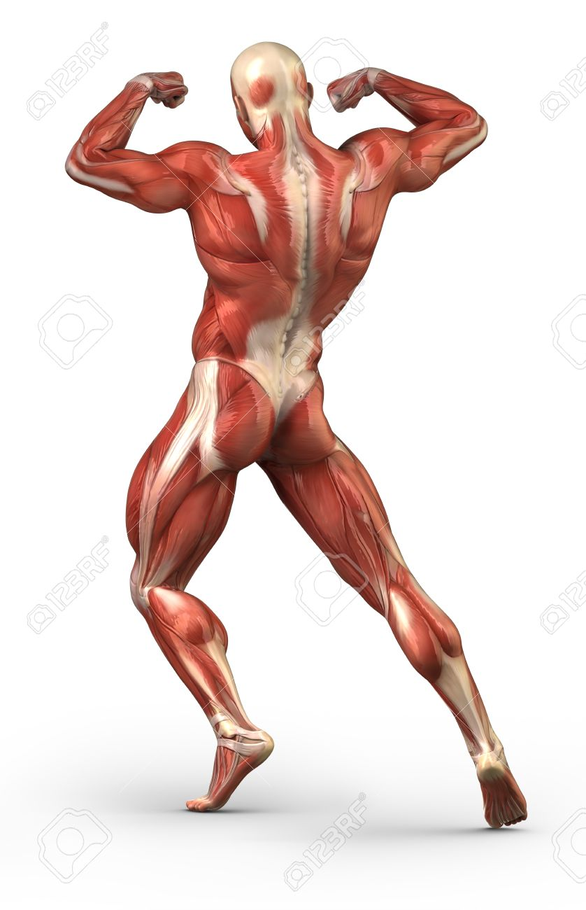 Anatomy of human muscles Stock Photo - 10084932