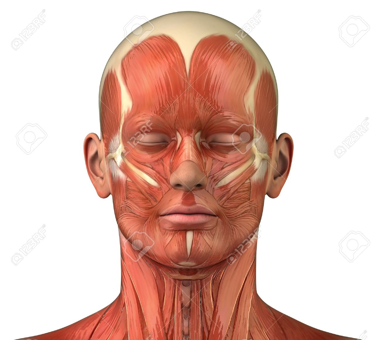 Anatomy Of Head Muscles Stock Photo Picture And Royalty Free Image