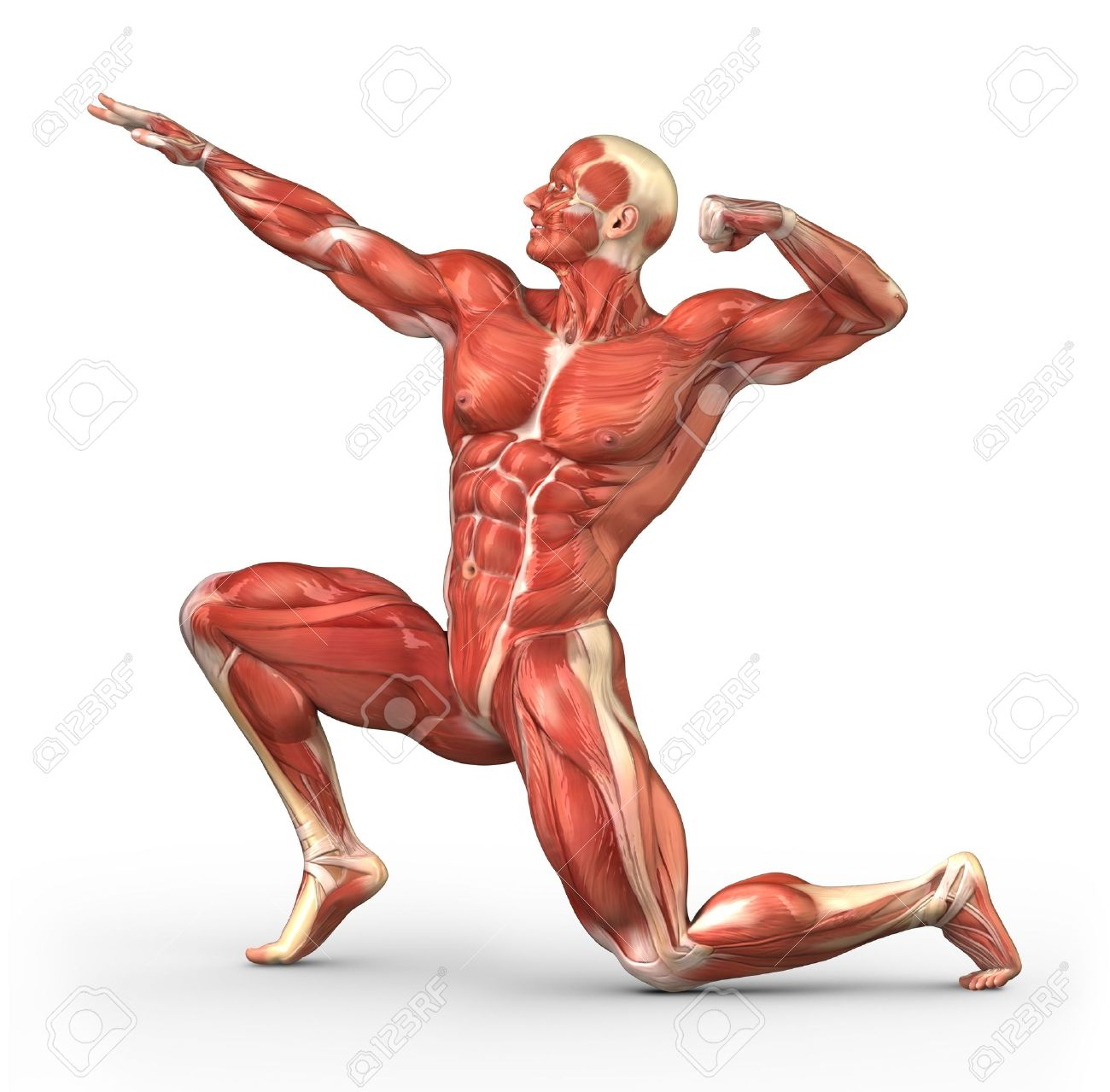 flexor muscle stock photos images. royalty free flexor muscle, Muscles