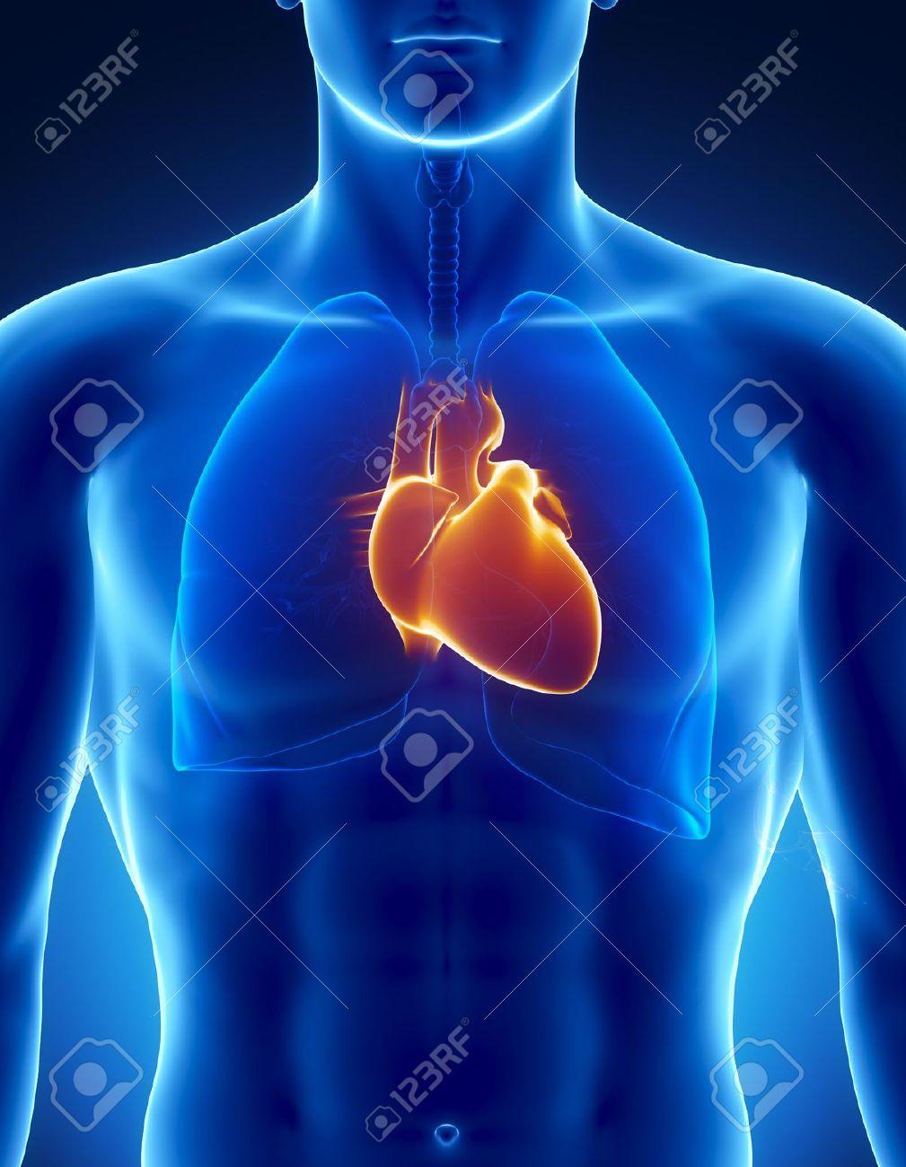 Männliche Anatomie Menschlicher Organe In Der X-ray-Ansicht ...
