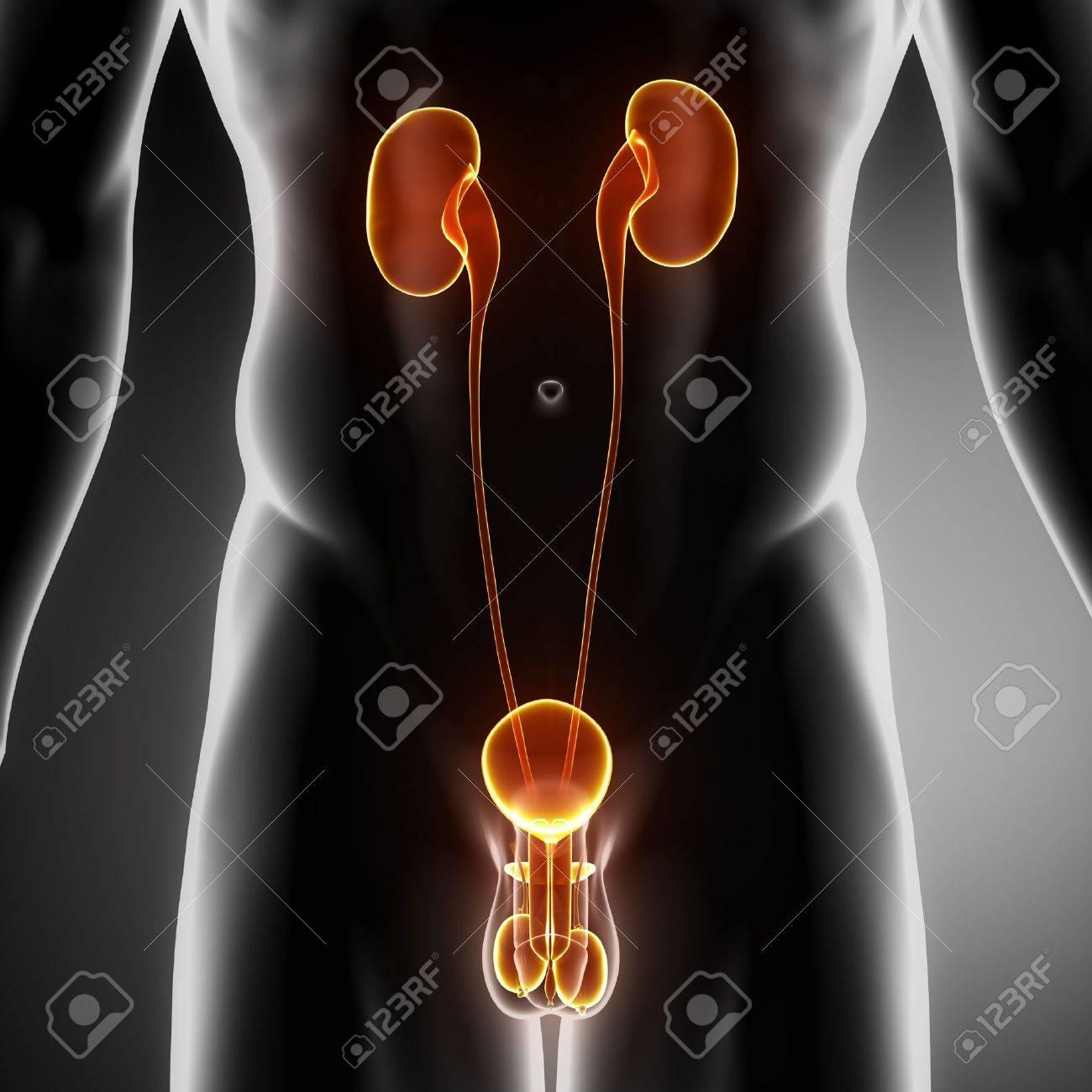 Männliche Anatomie Des Menschlichen Urogenitaltraktes In X-ray ...