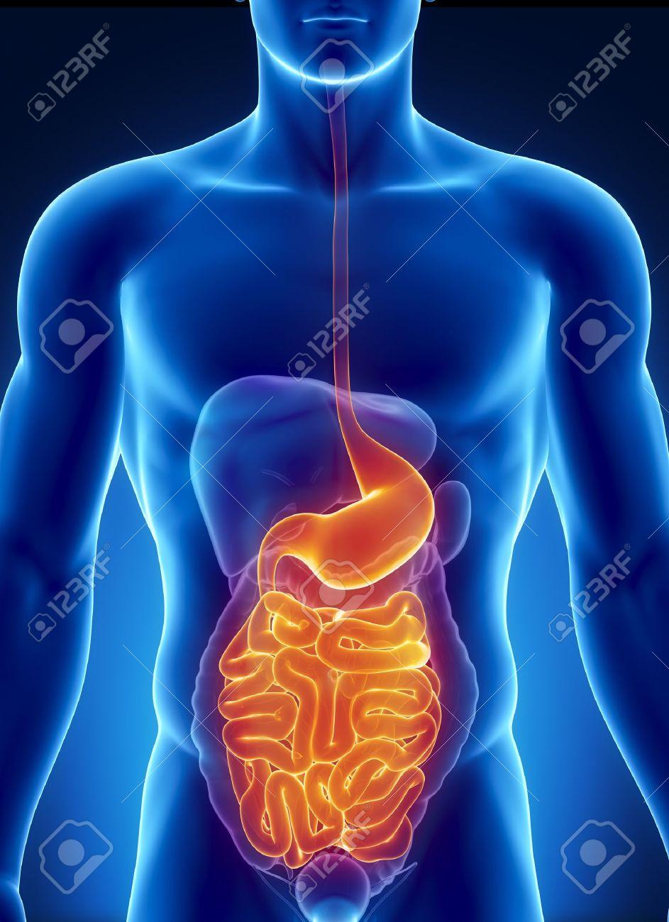 Männliche Anatomie Der Menschlichen Verdauungstrakt In X-ray-Ansicht ...