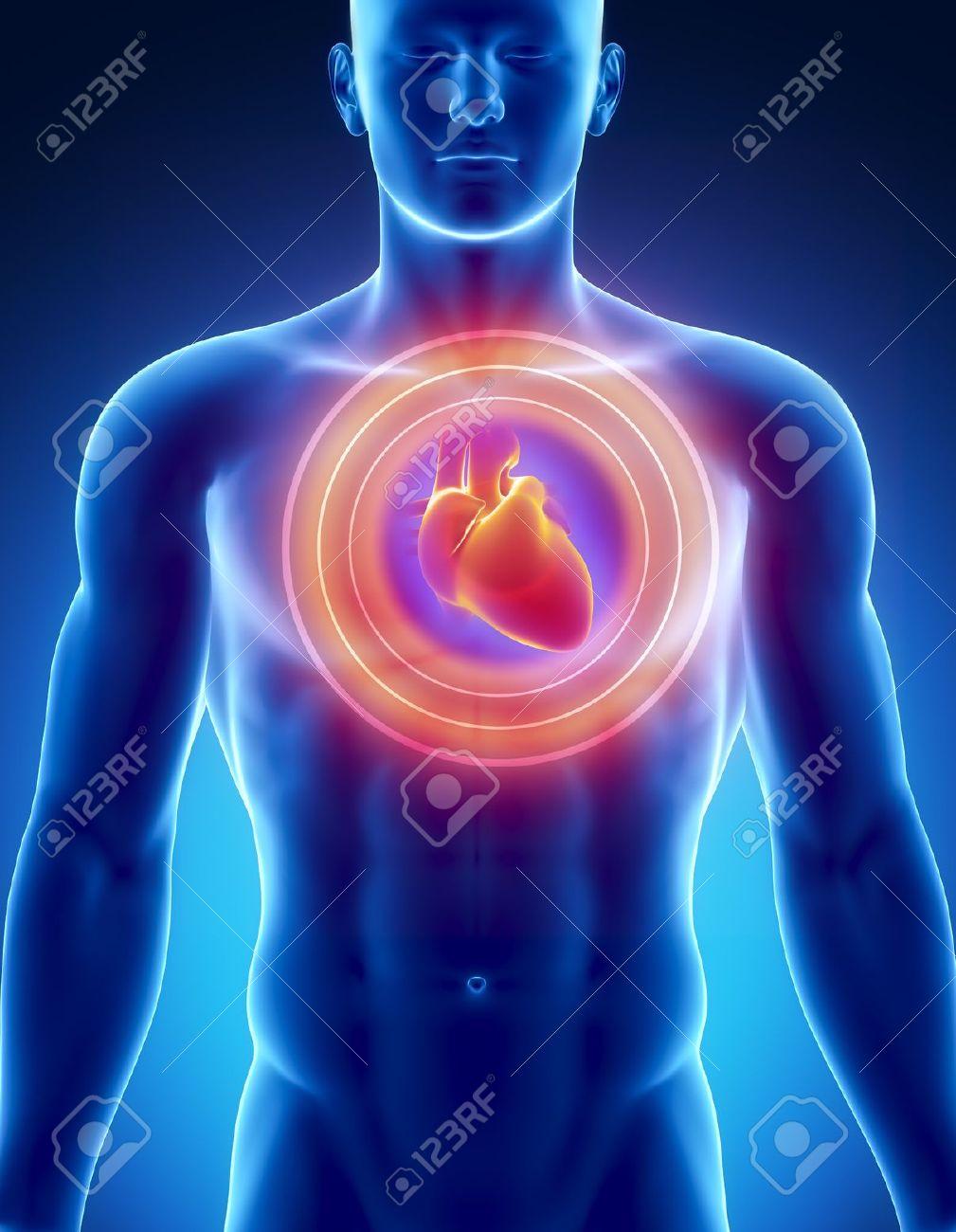 Männliche Anatomie Des Menschlichen Herzens In X-ray Ansehen ...