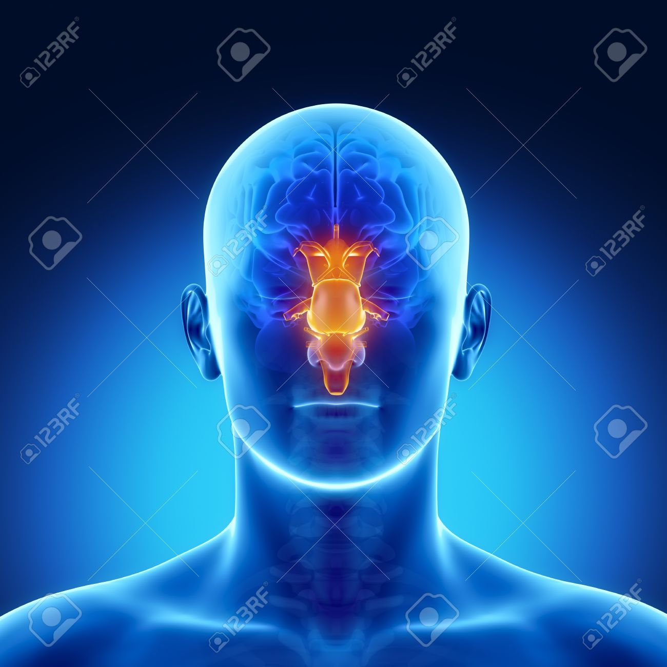 Male Anatomy Of Human Brain Stem In X-ray View Stock Photo, Picture ...