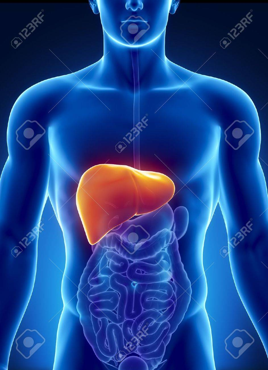 human liver stock photos images. royalty free human liver images, Human body