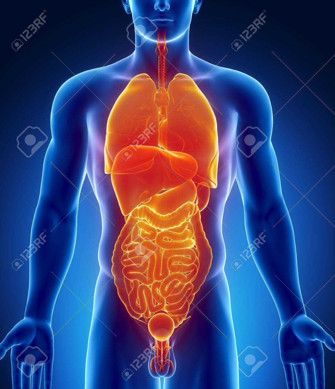 Männlichen Anatomie Menschlicher Organe In Der X-ray-Ansicht ...