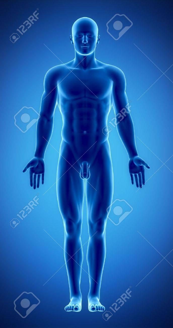 Männliche Anatomie Des Menschlichen Organen In X-ray Ansehen ...
