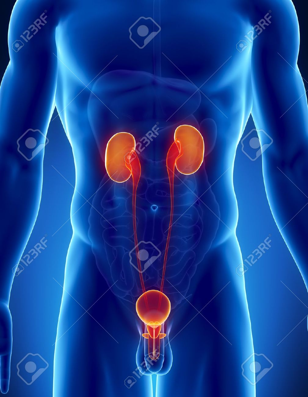 Male Anatomy Of Human Urinary Tract In X-ray View Stock Photo ...