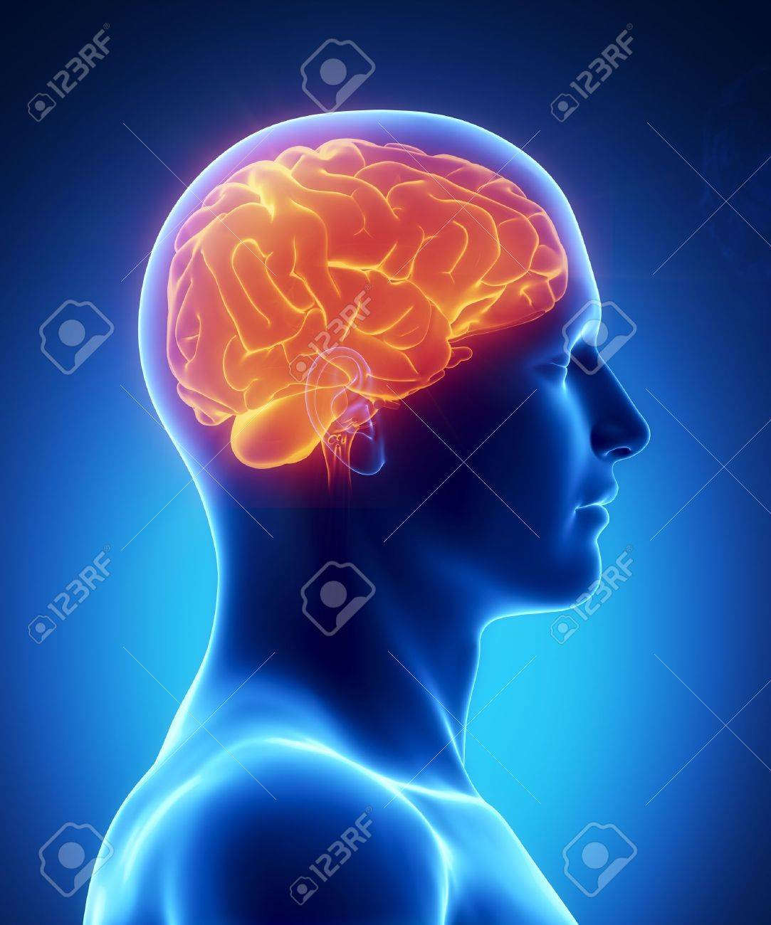 Anatomía Masculina Del Cerebro Humano En Vista De Rayos X Fotos ...