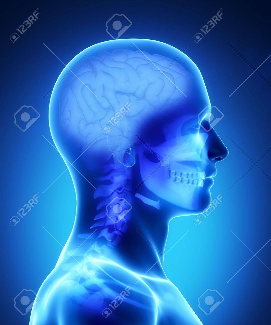 Anatomía Masculina Del Cerebro Humano En La Vista De Rayos X Fotos ...