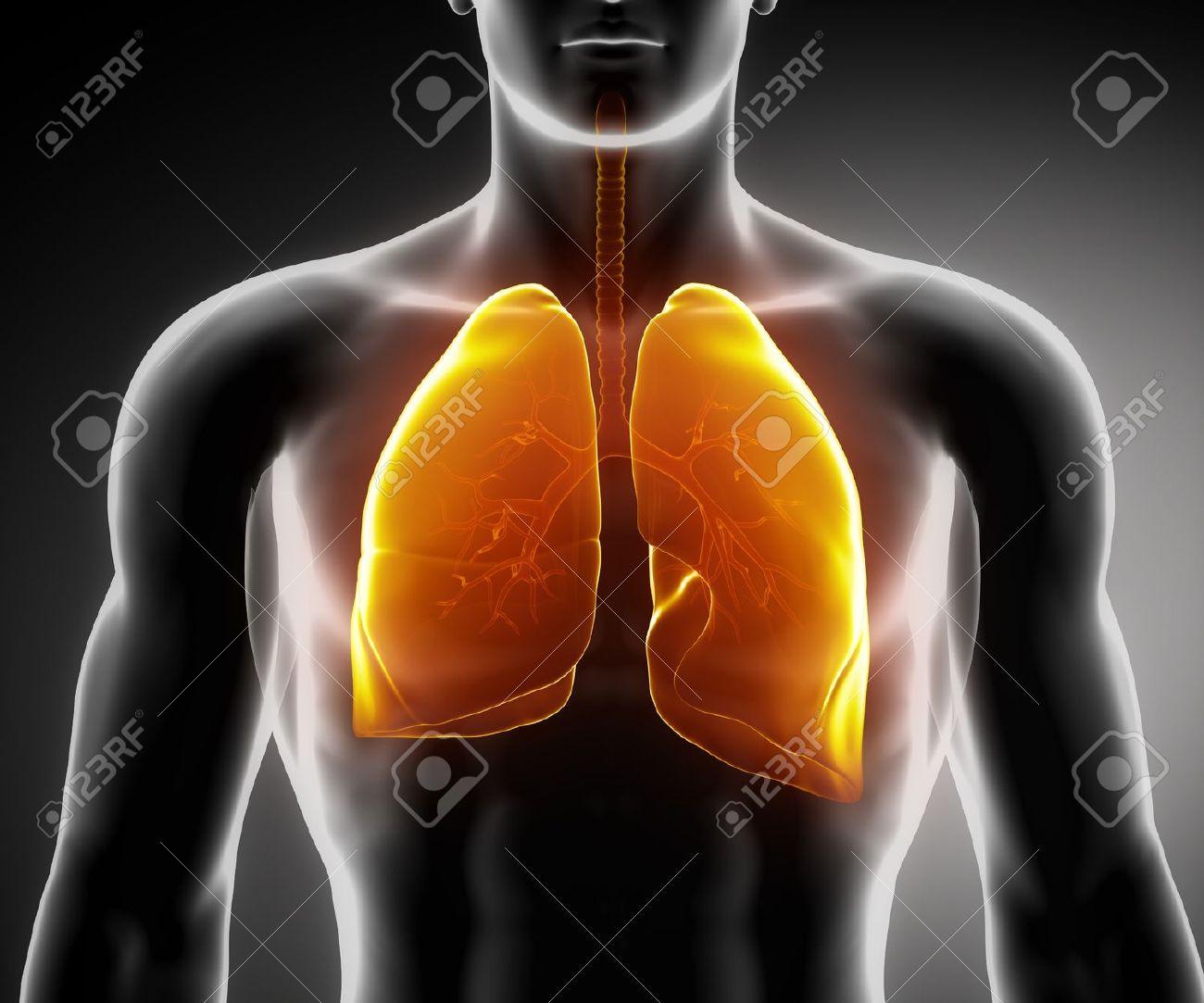 Anatomía Masculina Sistema Respiratorio De órganos Humanos En Vista ...