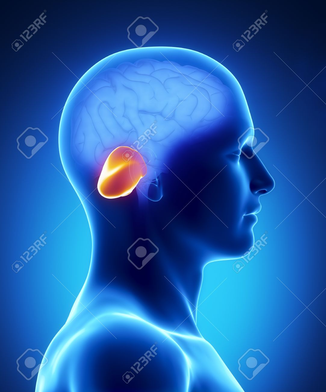 Male Cerebellum Anatomy Of Human Organs In X-ray View Stock Photo ...