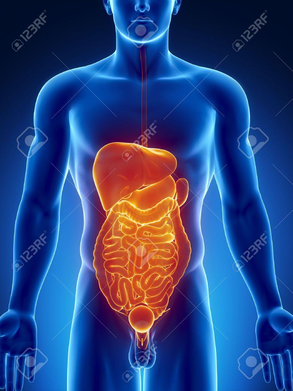 Male Anatomy Of Human Abdominal Organs In Blue Orange X Ray View