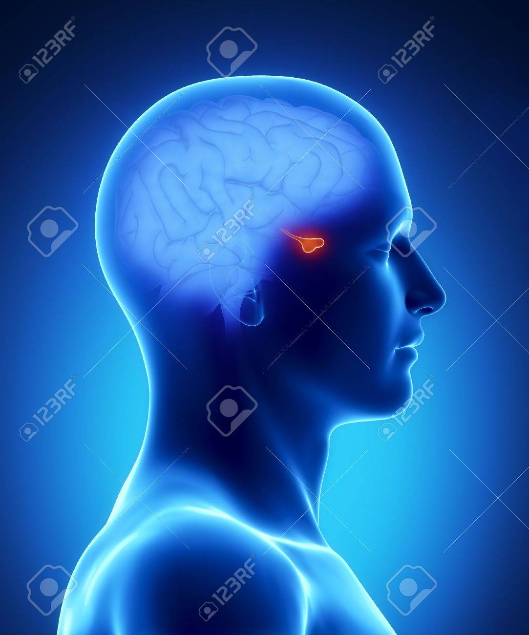 Anatomía Masculina Pituitaria De órganos Humanos En Vista De Rayos X ...