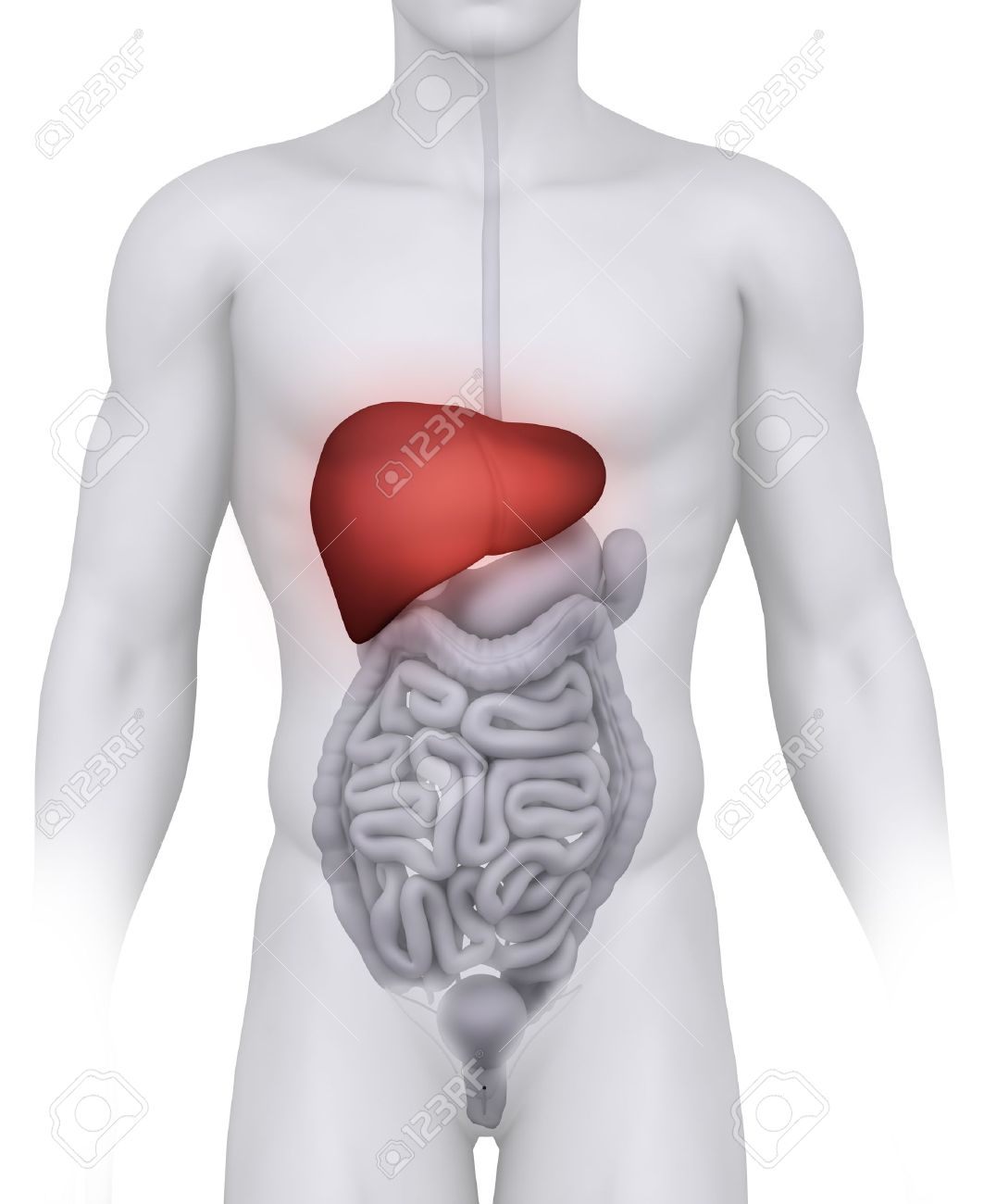 Male LIVER anatomy illustration on white Stock Illustration - 10611435