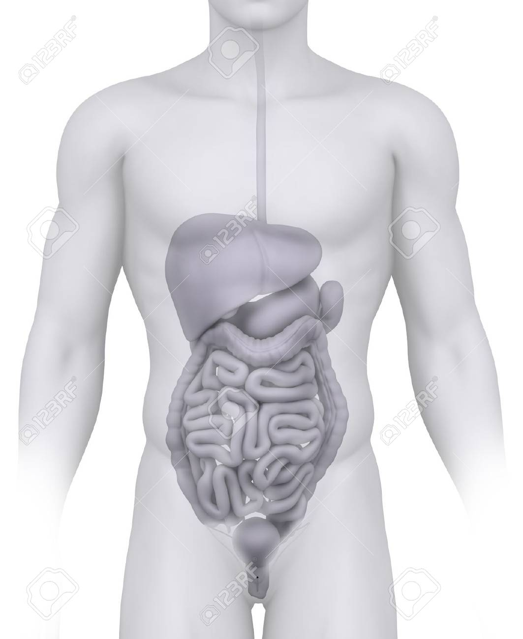 Männlich Bauchorgane Anatomie Illustration Auf Weißem Lizenzfreie ...