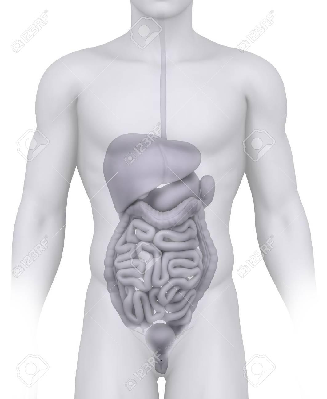 Mujer órganos Abdominales Ilustración Anatomía En Blanco Fotos ...