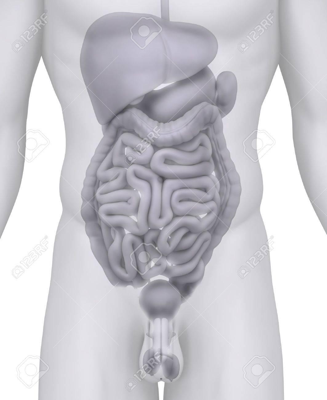 Ilustración De La Anatomía De órganos Abdominales Masculinos En ...