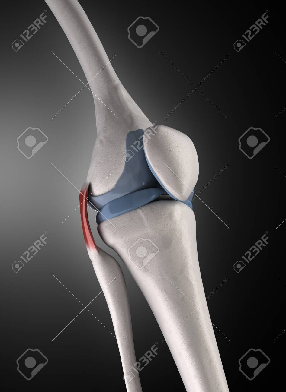 Knee Bone Anatomy Stock Photo, Picture And Royalty Free Image. Image ...