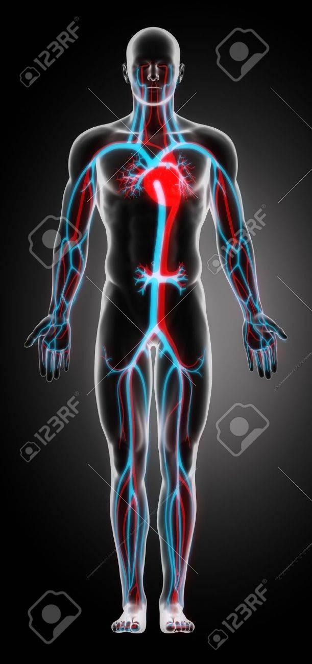 Anatomy Of The Cardiovascular System Stock Photo Picture And