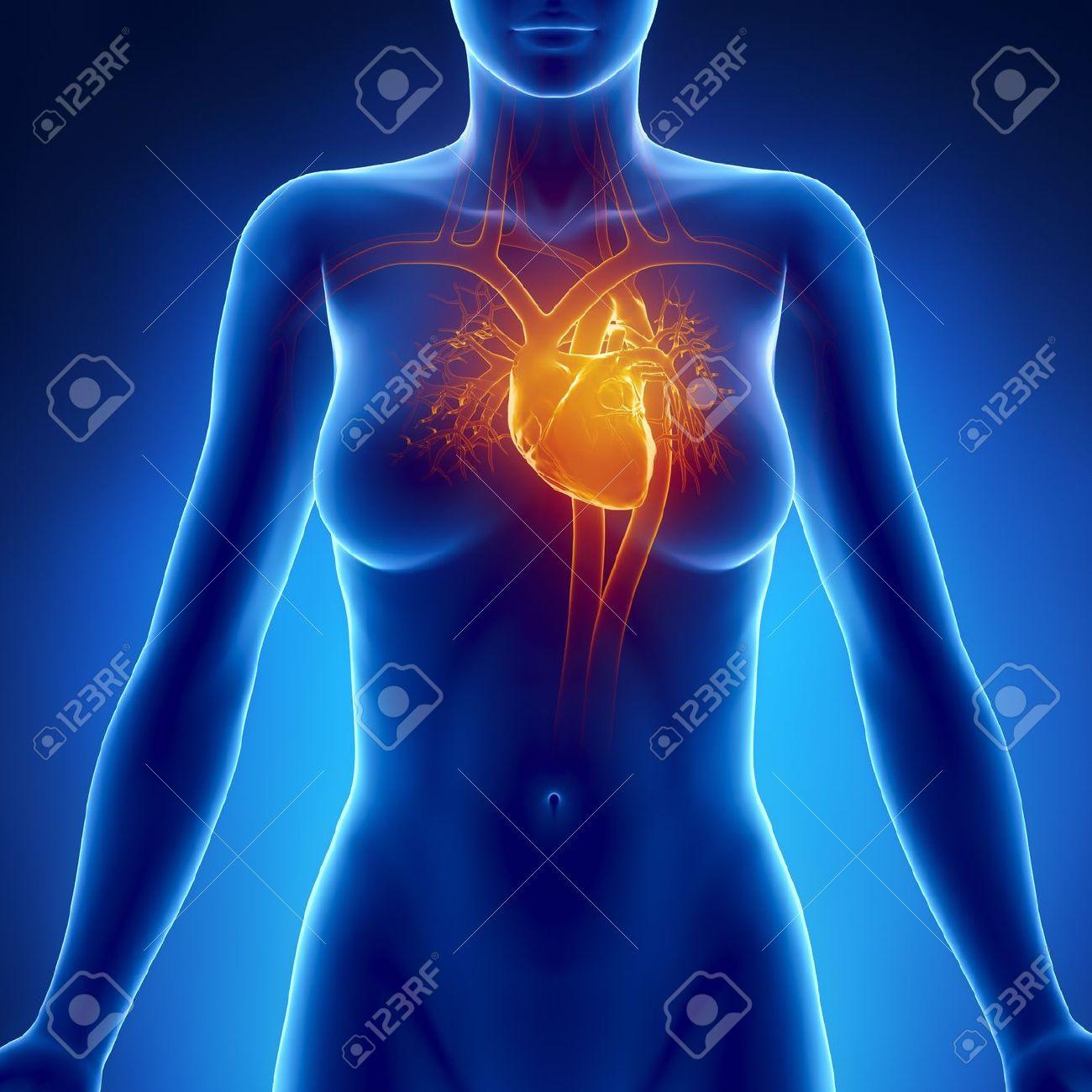 Mujer Anatomía Del Corazón Que Brilla Intensamente Fotos, Retratos ...