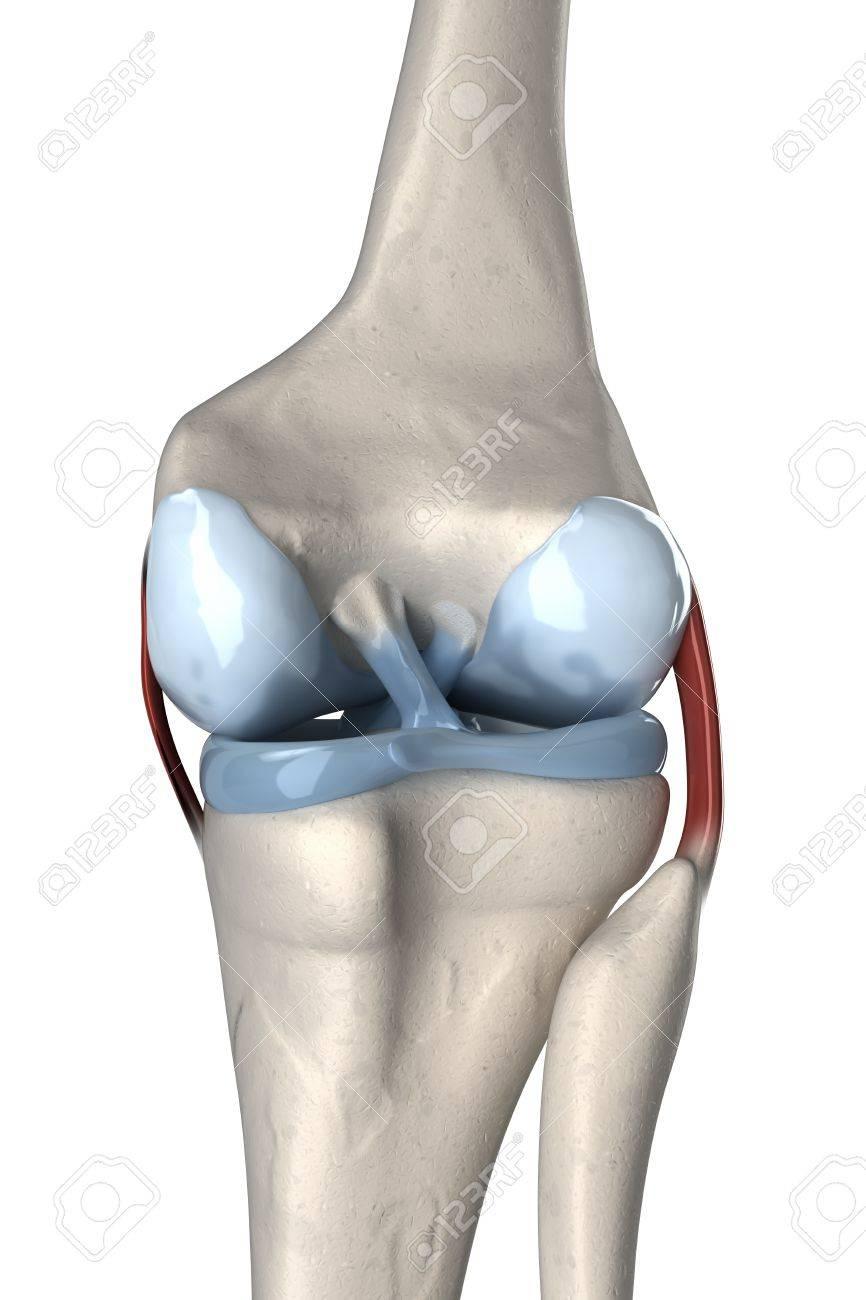 Anterior And Posterior Cruciate Ligament Anatomy Stock Photo ...