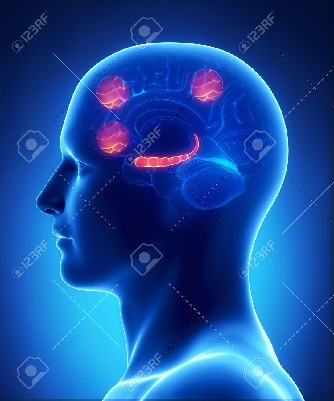 Präfrontalen Kortex Und Ein Teil Der Hirnrinde Occipital Der Intra ...