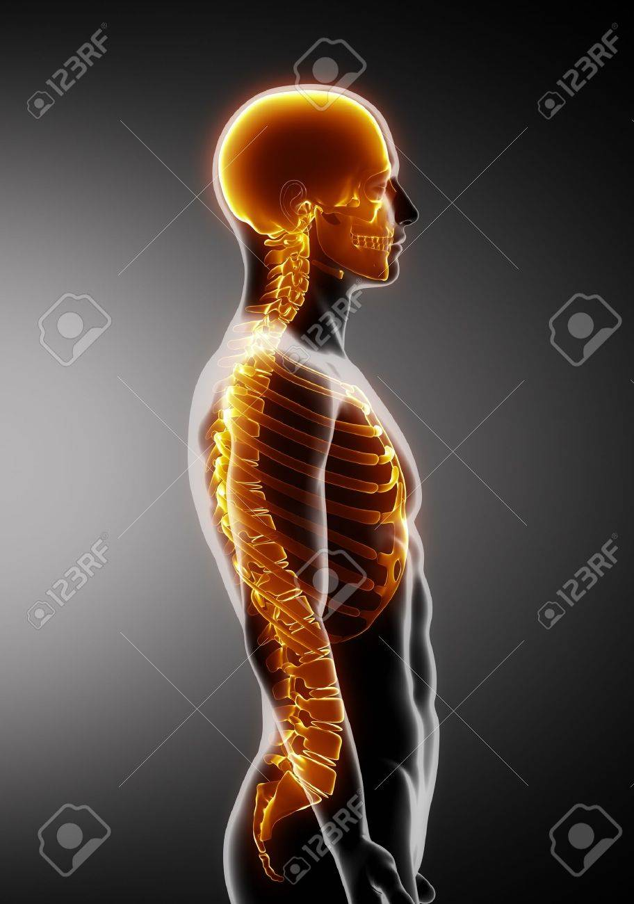 Human Spine Stock Photos Royalty Free Human Spine Images