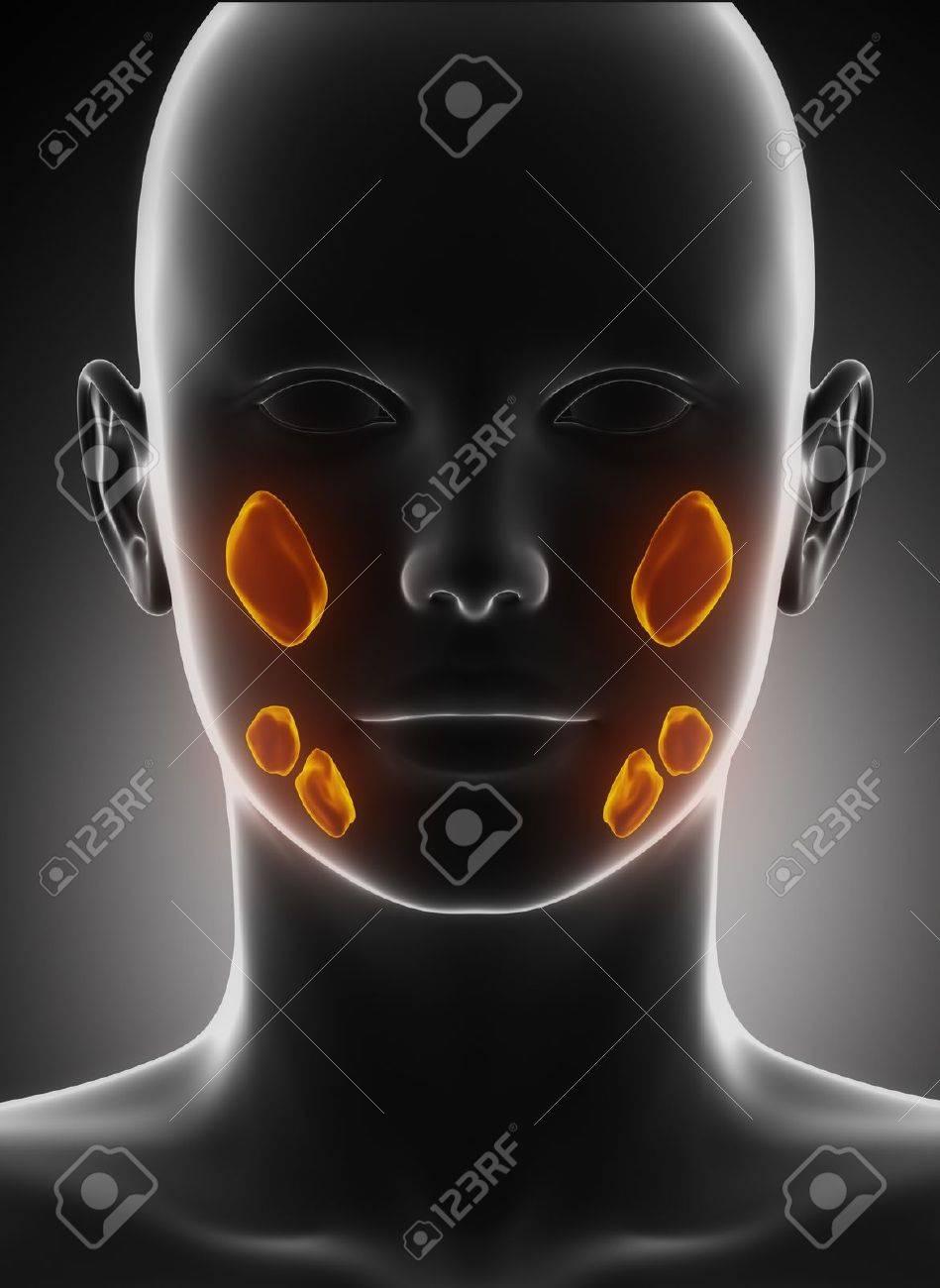 Glándula Salival Vista Anatomía Anterior Fotos, Retratos, Imágenes Y ...