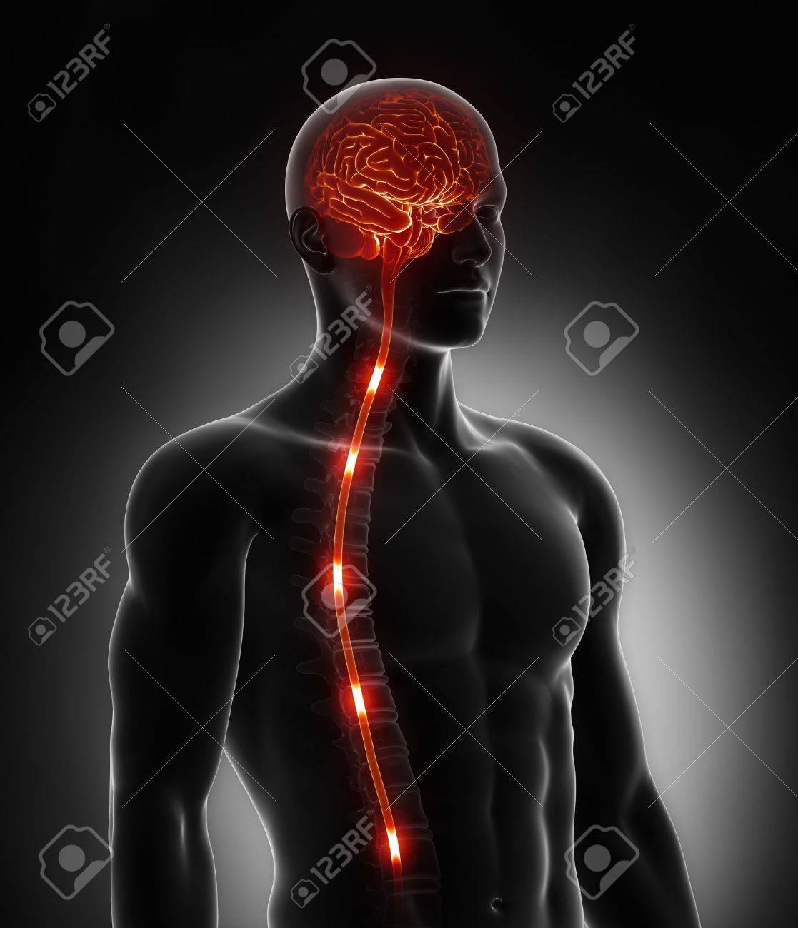 Rückenmark Nerven Energie Impulse In Gehirn Lizenzfreie Fotos ...