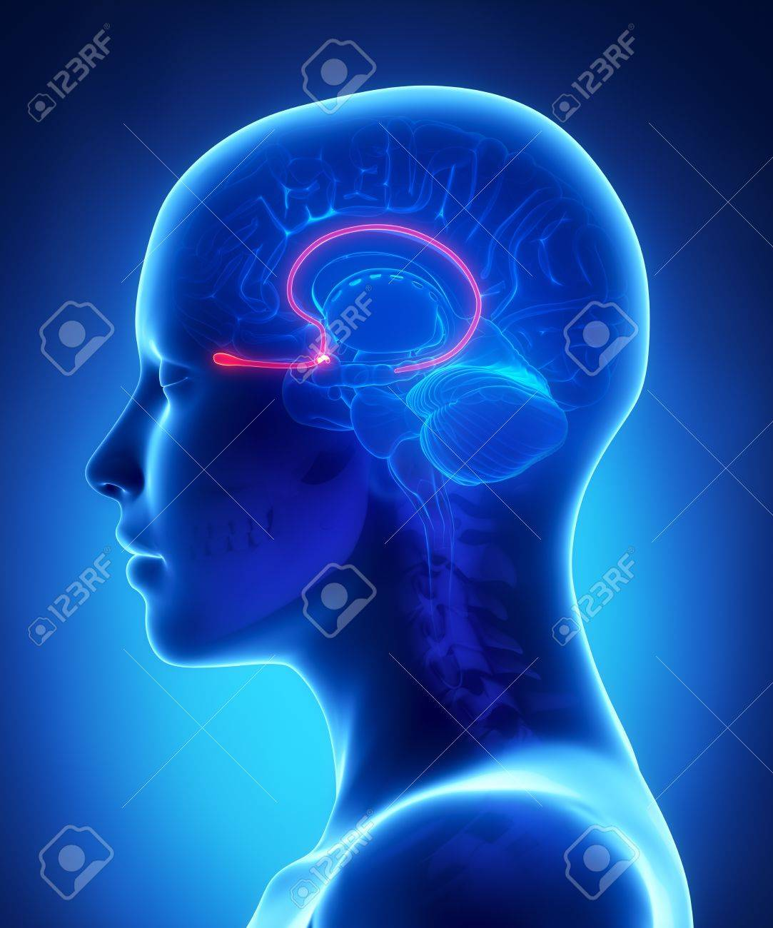 Olfactory Bulb - Female Brain Anatomy Lateral View Stock Photo ...