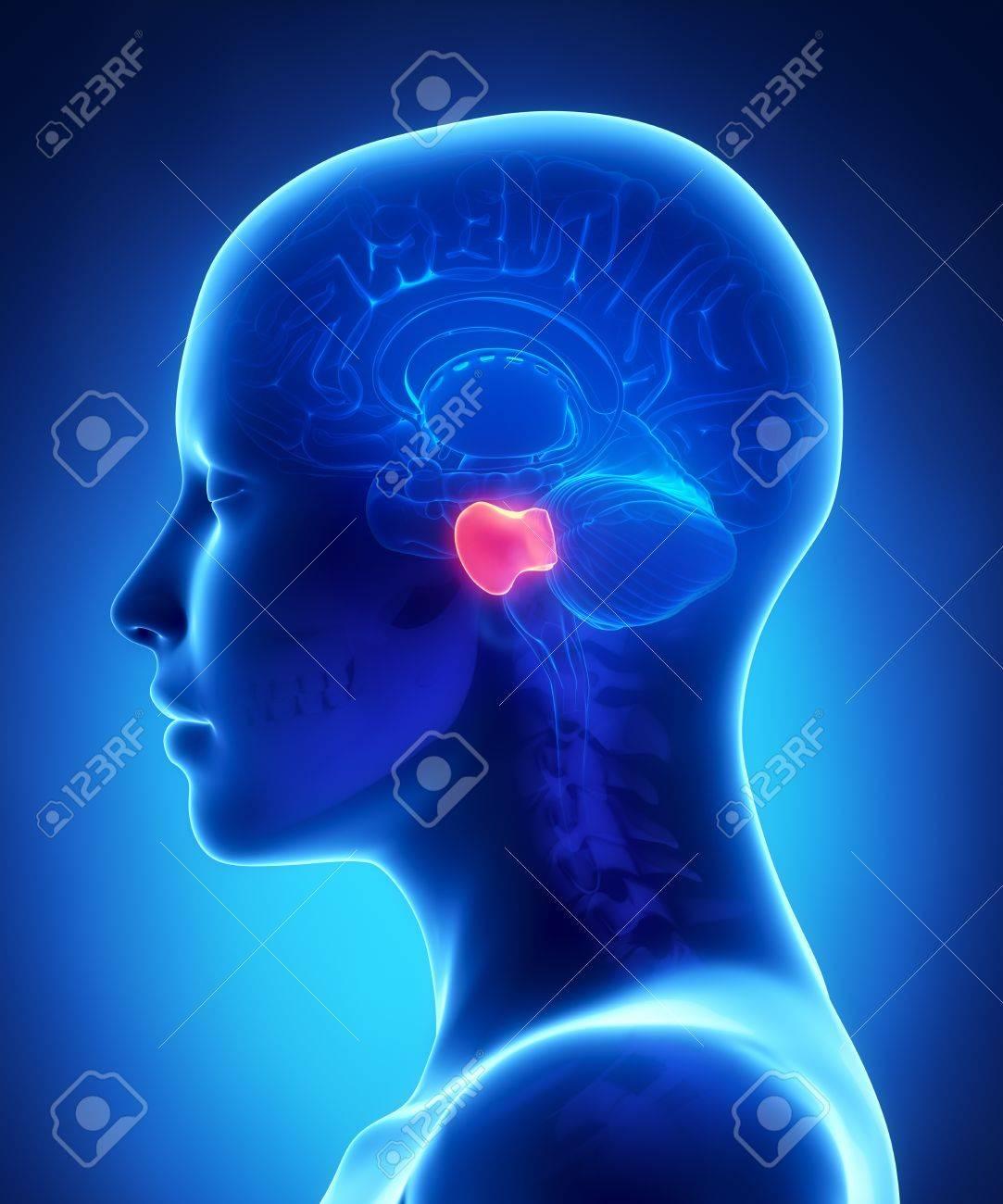 Brain Pons - Female Brain Anatomy Lateral View Stock Photo ...