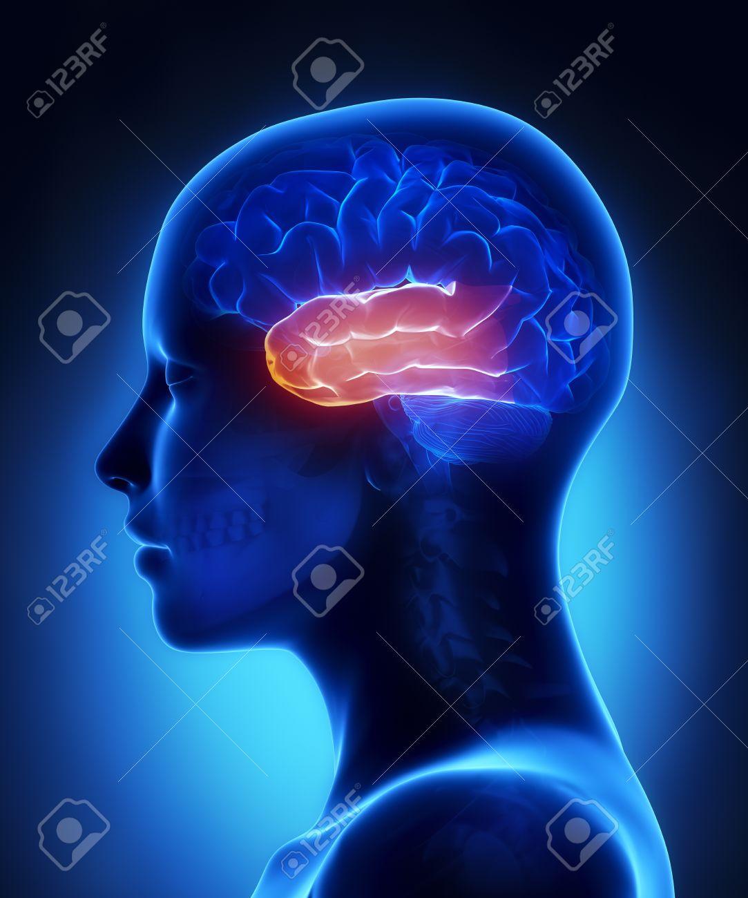 Schläfenlappen - Weibliche Anatomie Des Gehirns Seitenansicht ...