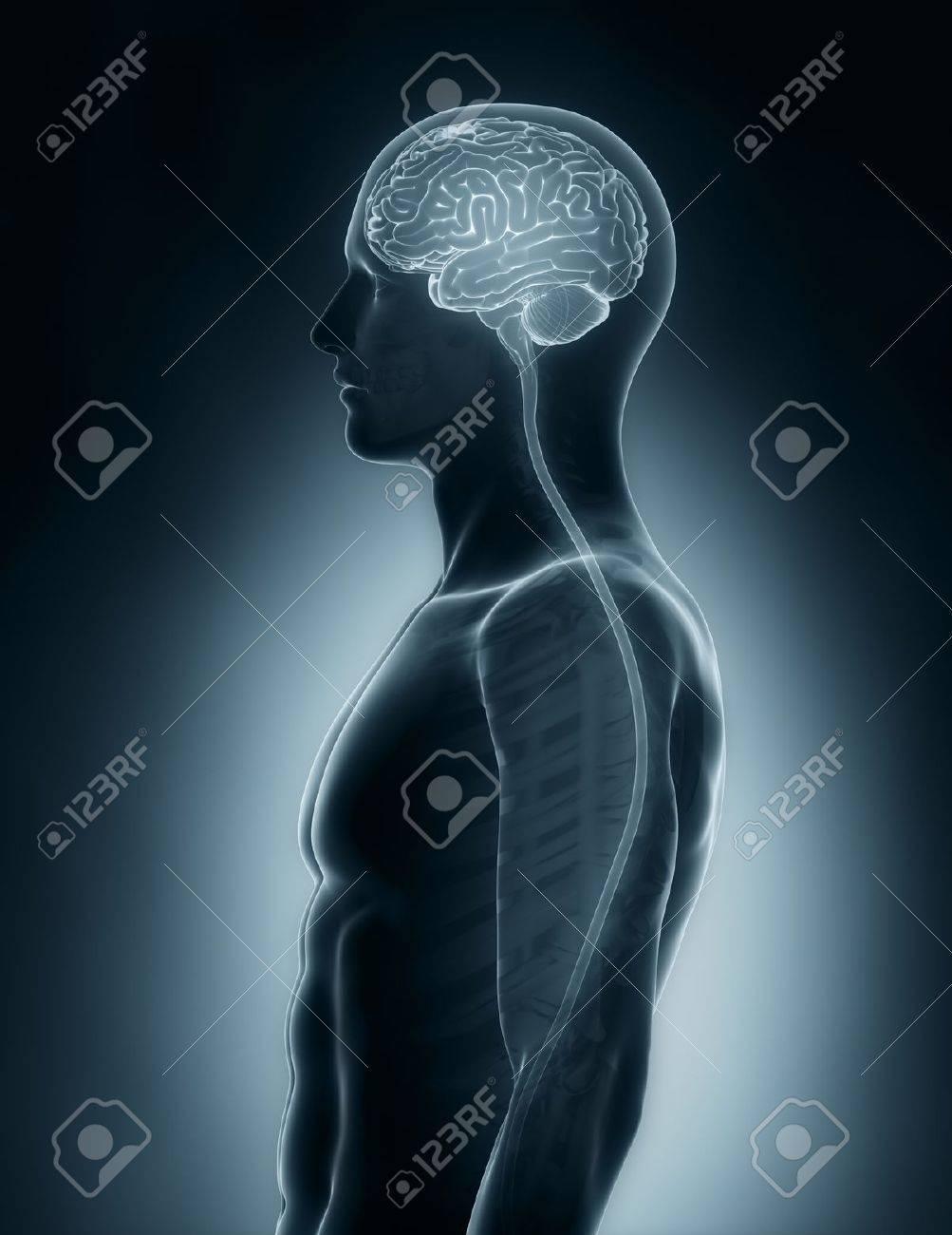 Gehirn Und Rückenmark Medizinische Röntgen-Scan Lizenzfreie Fotos ...