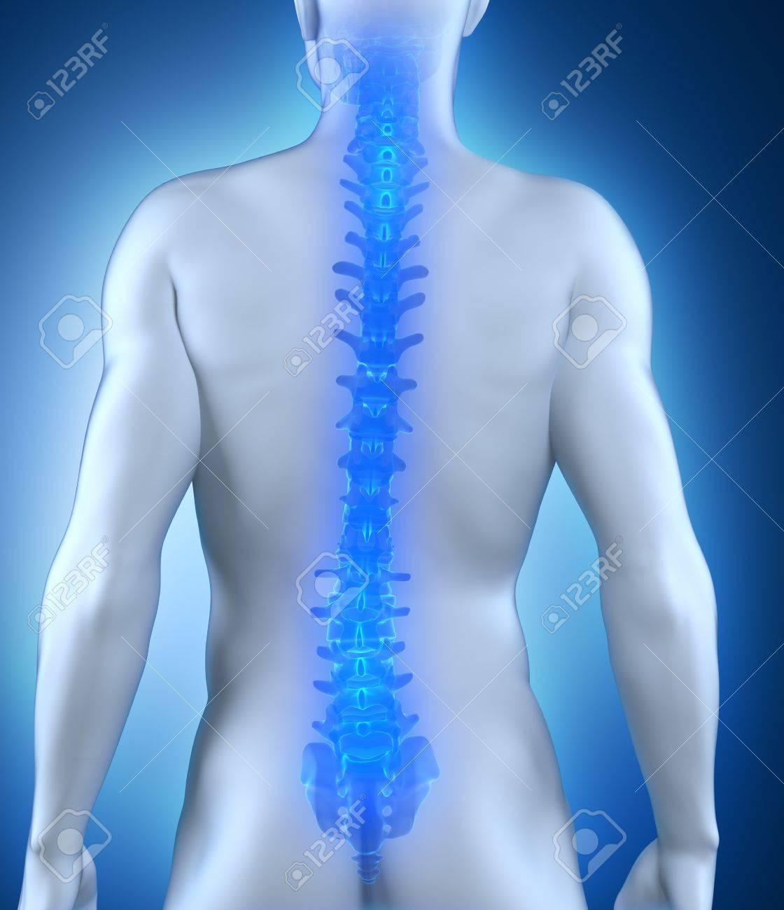 Menschlichen Wirbelsäule Anatomie Rückansicht Lizenzfreie Fotos ...