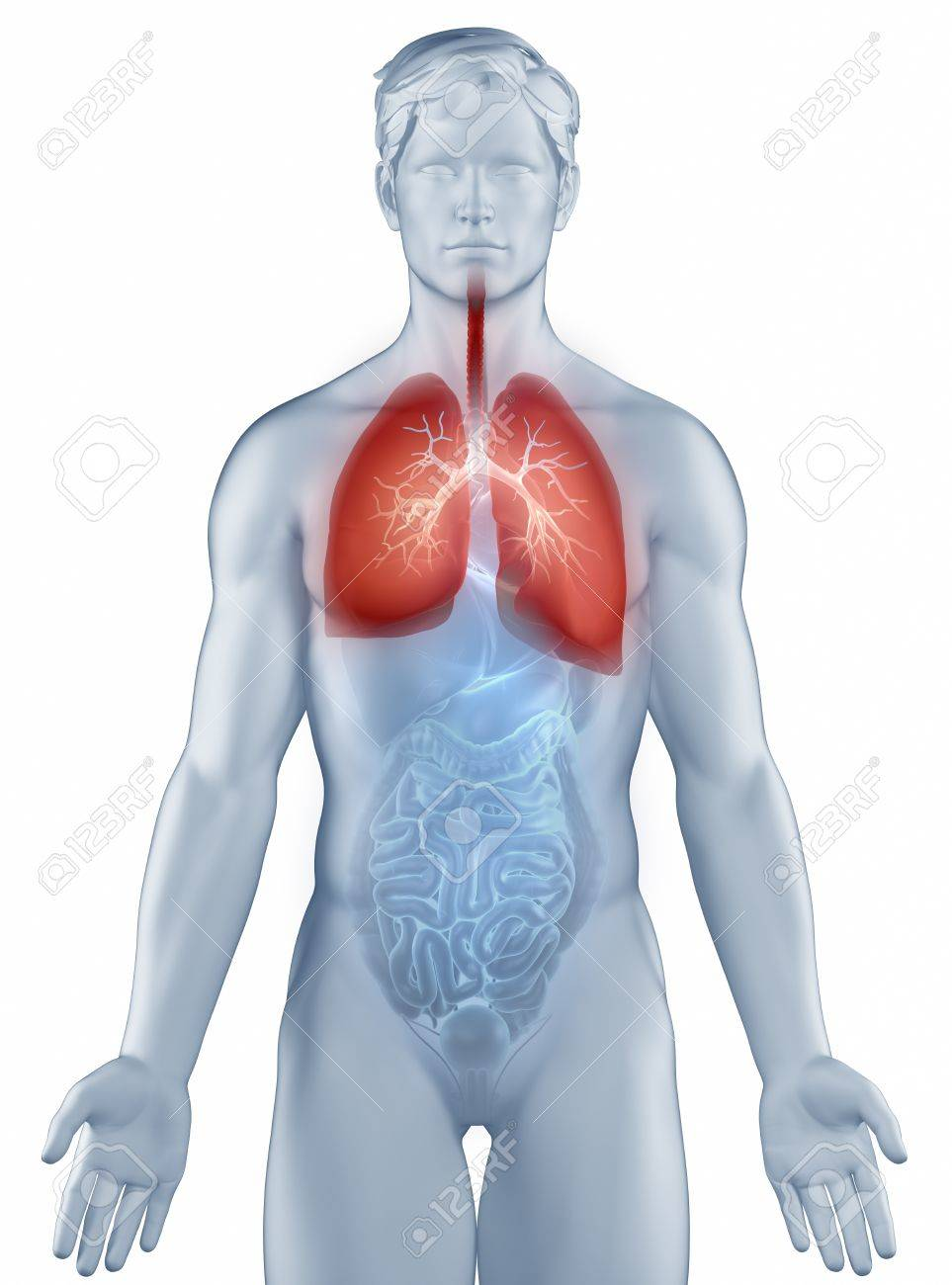Respiratory System Position Anatomy Man Isolated Stock Photo