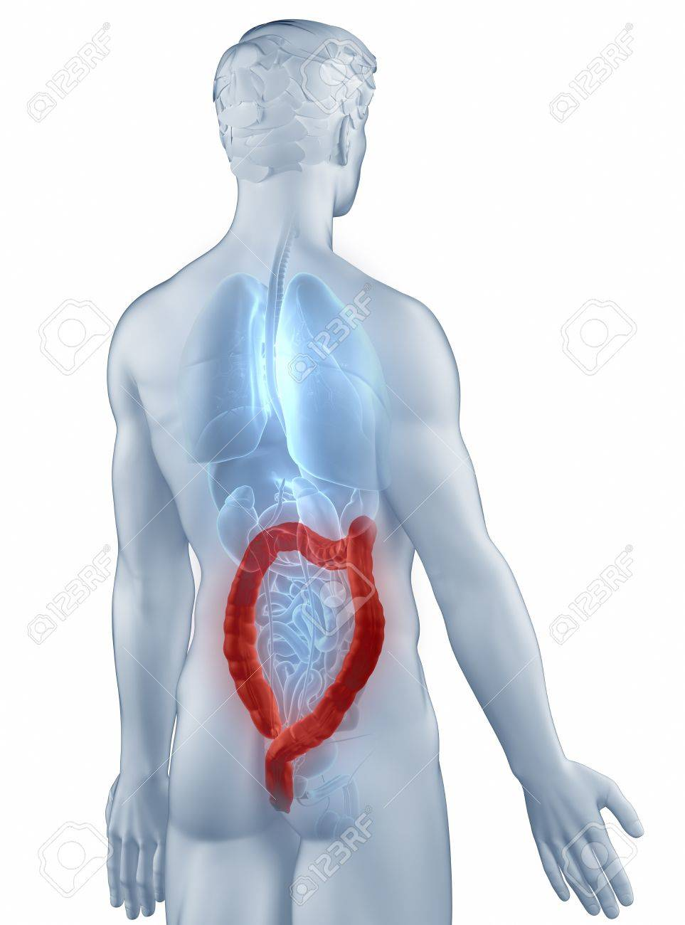 Colon position anatomy man isolated posterior view Stock Photo - 19707332